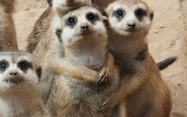 meerkats cru